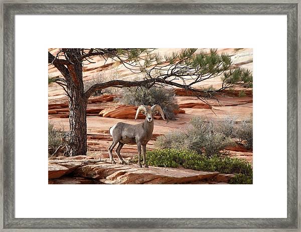 Big Horn Zion National Park Ut Framed Print