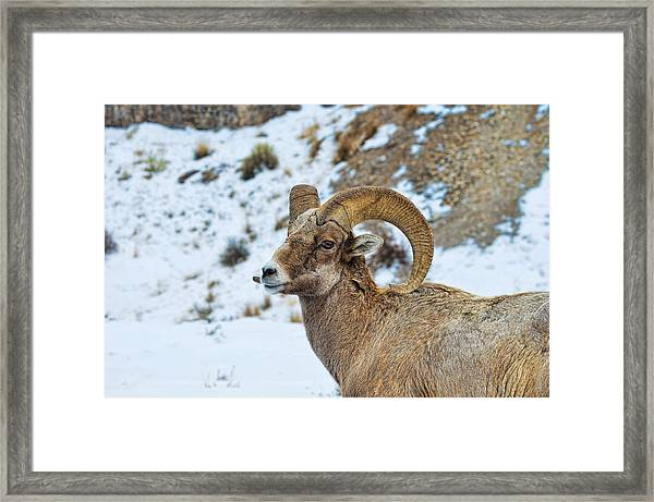 Framed Print featuring the photograph Bighorn Sheep by David Armstrong