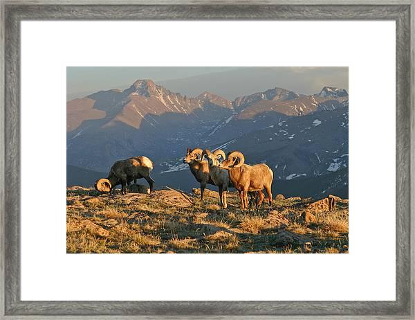 Bighorn Under Longs Peak Framed Print by Robert Yone