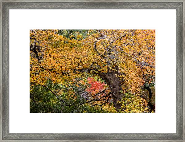 Bigtooth Maples Turning Colors Framed Print
