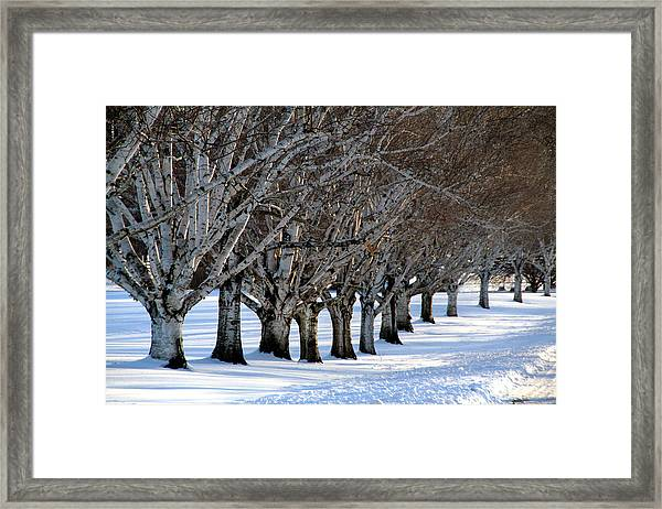 Birch Alley II Framed Print