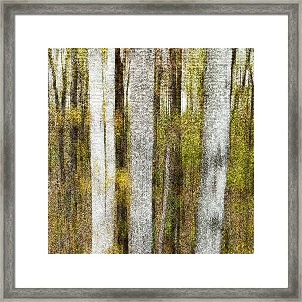 Birch Square Framed Print