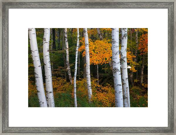 Birch Tree Pan Framed Print