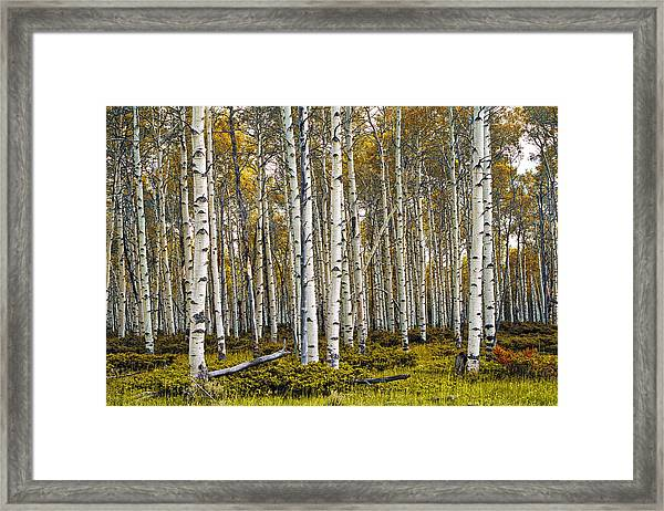 Aspen Trees In Autumn Framed Print