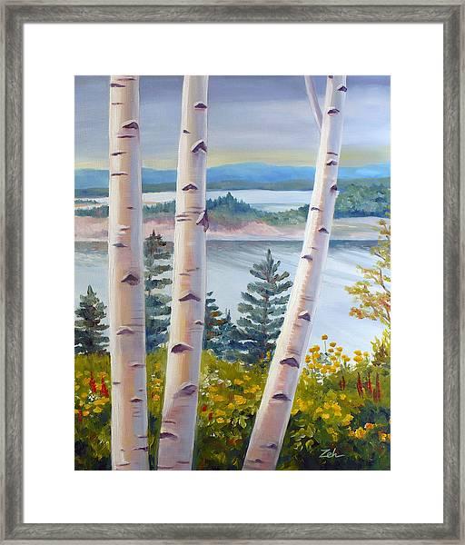 Birches In Nova Scotia Framed Print