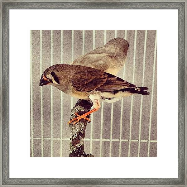 Birds In A Cage Framed Print