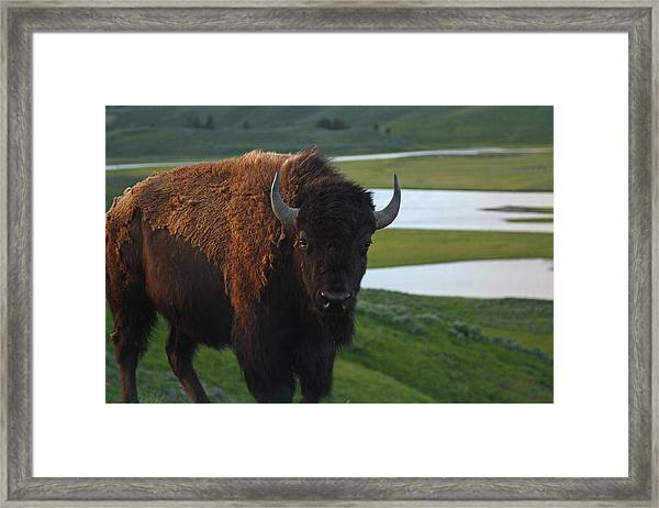 Bison Bull In Hayden Valley In Yellowstone National Park Framed Print