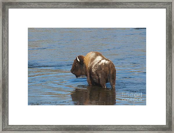 Bison Crossing River Framed Print