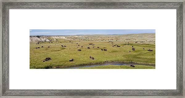 Bison Herd Framed Print