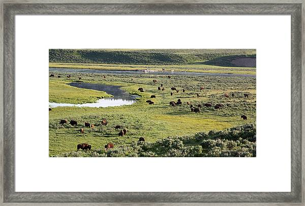 Bison In Hayden Valley In Yellowstone National Park Framed Print
