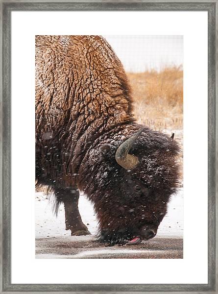 Bison In Snow_1 Framed Print