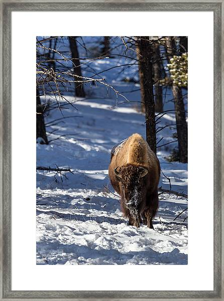 Bison In Winter Framed Print