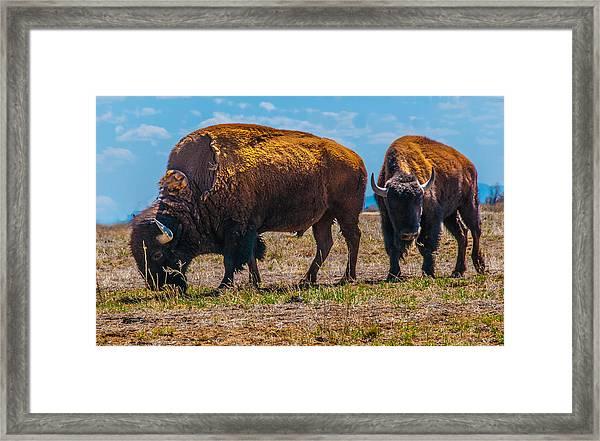 Bison Pair_1 Framed Print