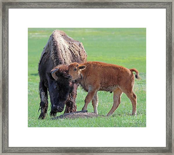 Bison With Young Calf Framed Print