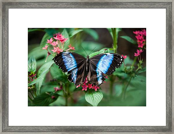 Black And Blue Wings Framed Print