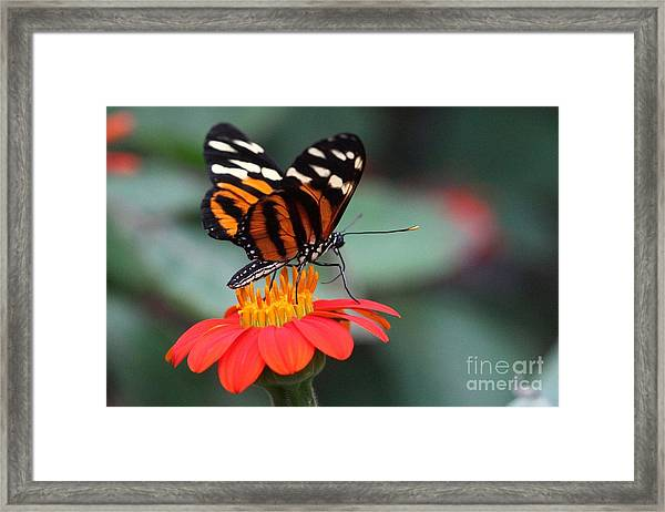 Black And Brown Butterfly On A Red Flower Framed Print