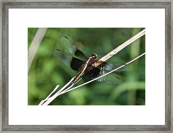 Black And Gold Dragonfly Framed Print