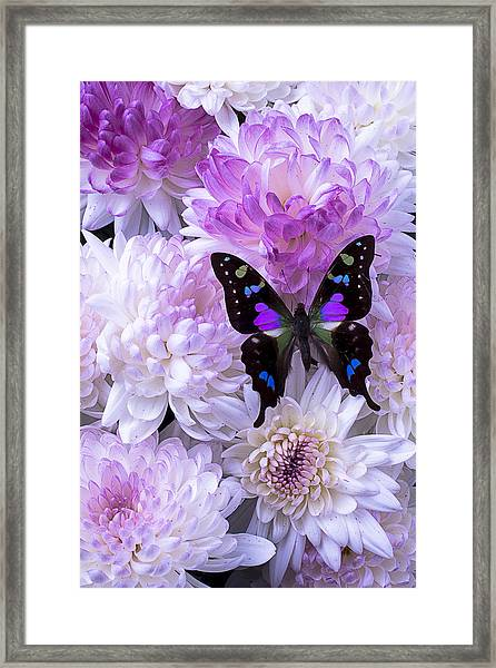 Black And Purple Butterfly On Mums Framed Print
