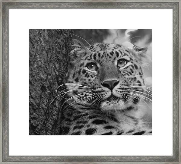 Black And White Amur Leopard Framed Print