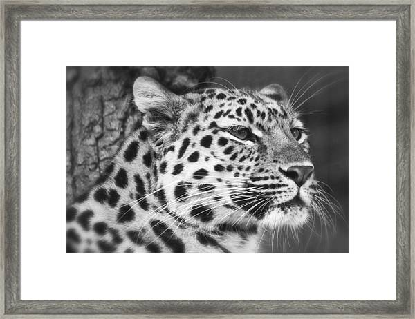 Black And White - Amur Leopard Portrait Framed Print