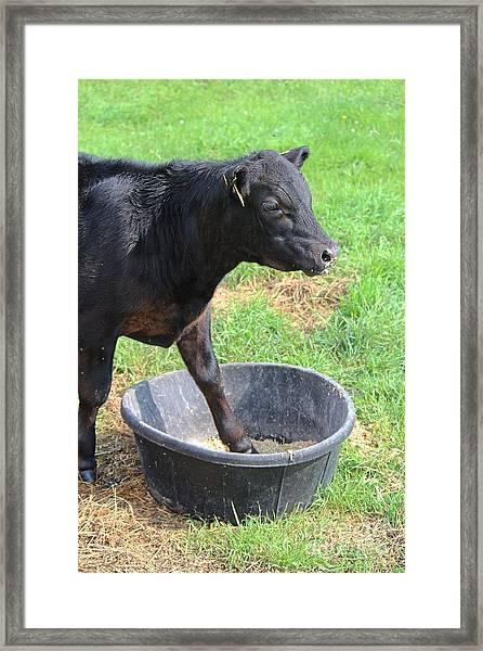 Black Angus Calf Framed Print
