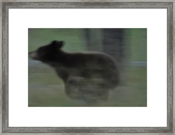 Black Bear Cub Running Framed Print