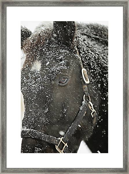 Black Beauty In A Blizzard Framed Print