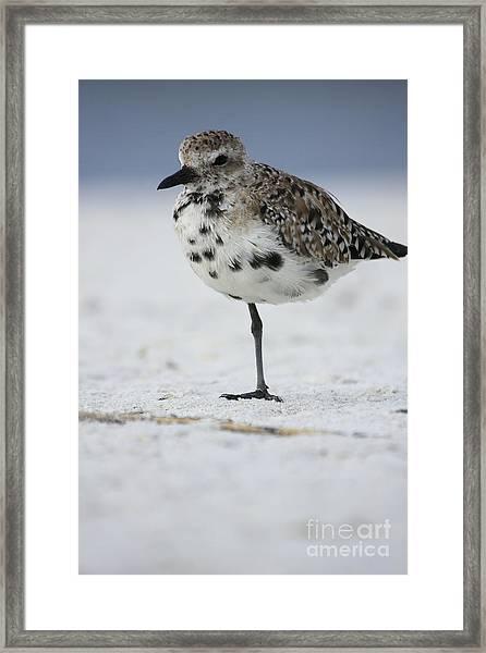 Black-bellied Plover Framed Print