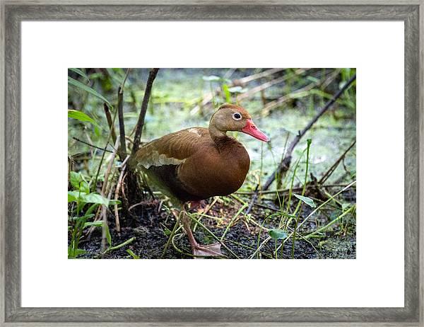 Black-bellied Whistling Duck 2 Framed Print