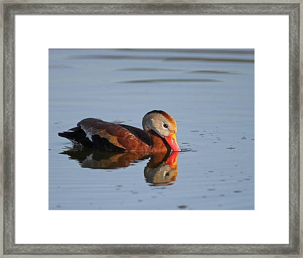 Black-bellied Whistling Duck Framed Print by Brian Magnier