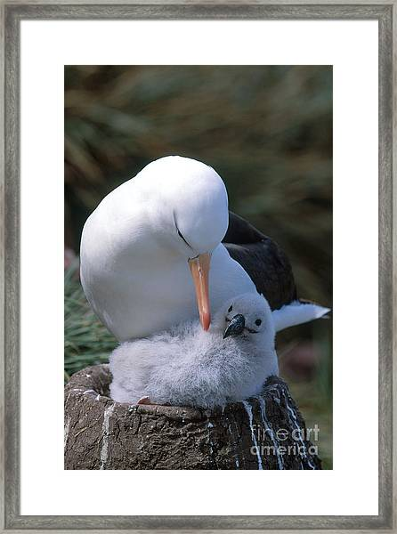 Black-browed Albatross With Chick Framed Print