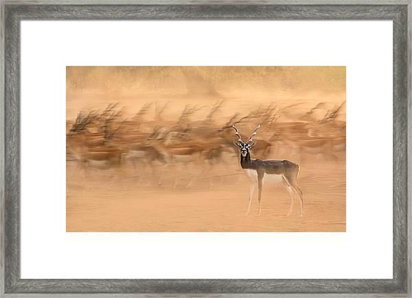 Black Bucks Framed Print