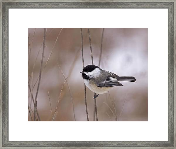 Black-capped Chickadee Framed Print by Brian Magnier