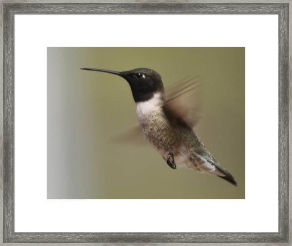 Black-chinned Hummingbird Framed Print