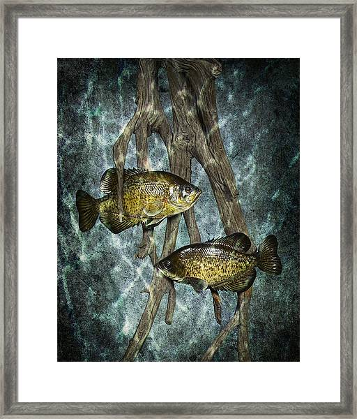 Black Crappies A Fish Image No 0143 Blue Version Framed Print
