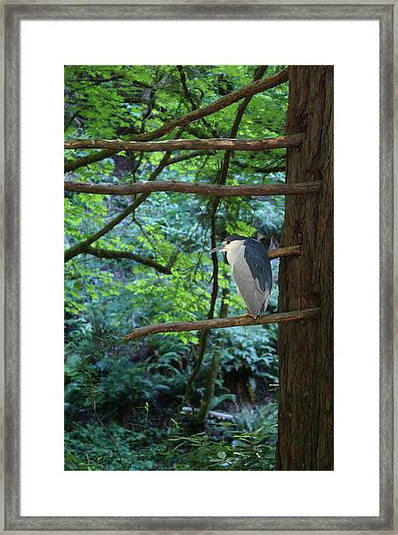 Black-crowned Night Heron Framed Print