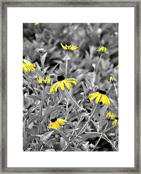 Black-eyed Susan Field Framed Print