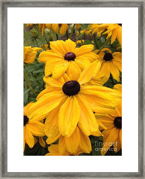 Framed Print featuring the photograph Black Eyed Susans by Barbara Von Pagel