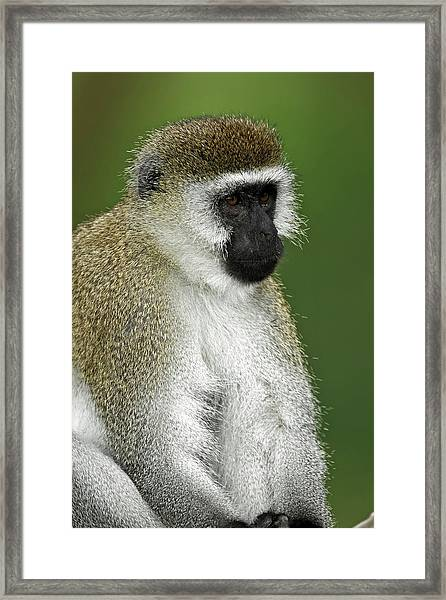 Black-faced Vervet Monkey, Lake Nakuru Framed Print