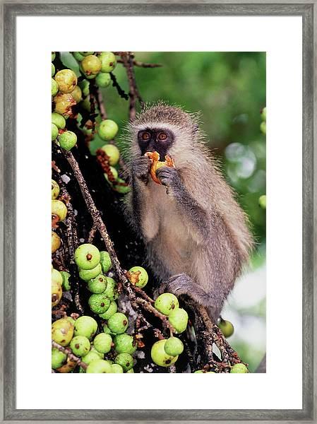Black-faced Vervet Monkey Framed Print