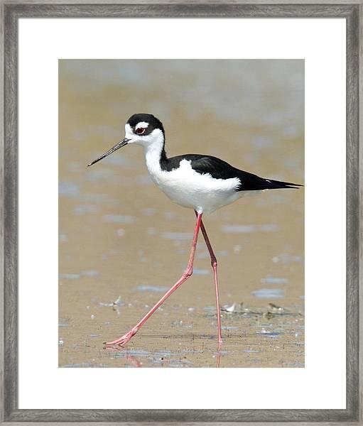 Black-necked Stilt Framed Print