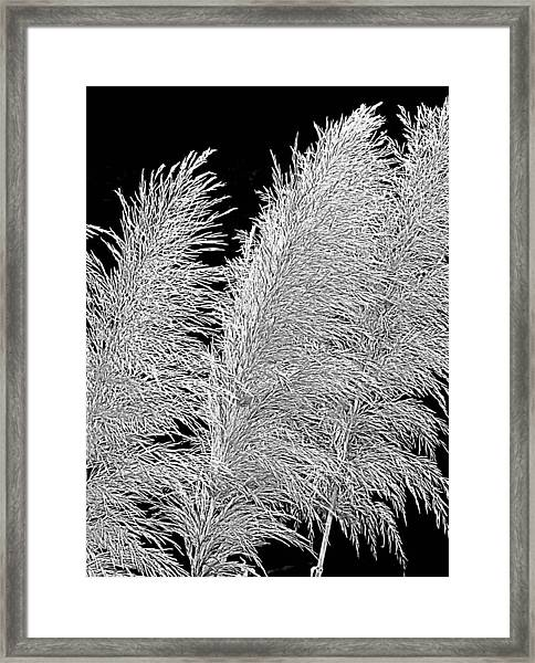 Black Pampas Framed Print