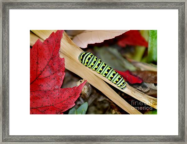 Black Swallowtail Butterfly Caterpillar Framed Print