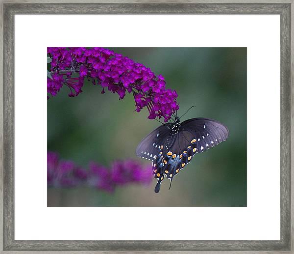 Black Swallowtail Framed Print