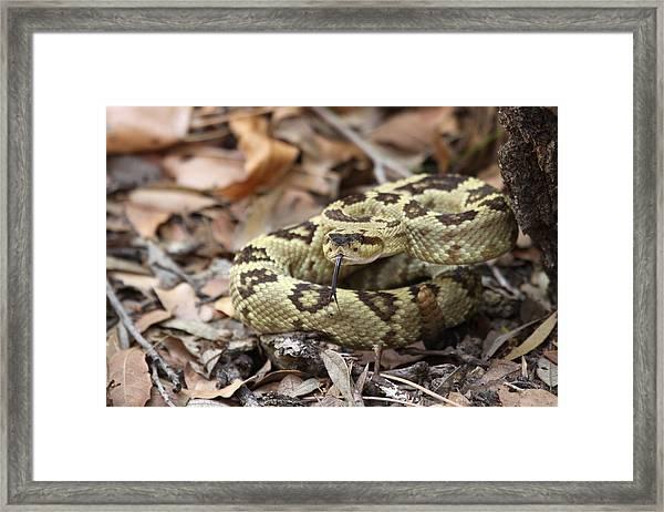 Black-tailed Rattlesnake Framed Print by Brian Magnier