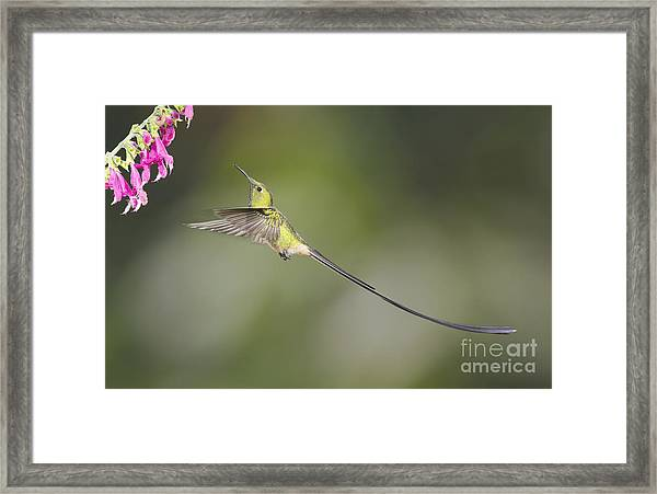 Black-tailed Trainbearer Hummingbird Framed Print