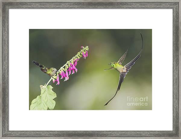 Black-tailed Trainbearer Hummingbirds Framed Print