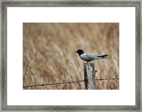 Black Tern Framed Print