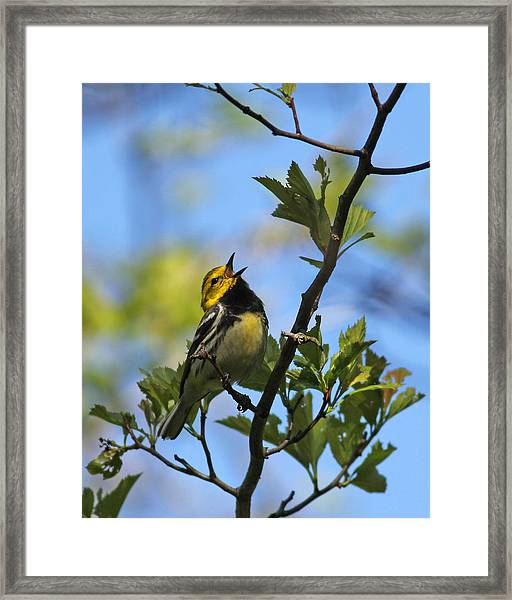 Black-throated Green Warbler Framed Print by Brian Magnier