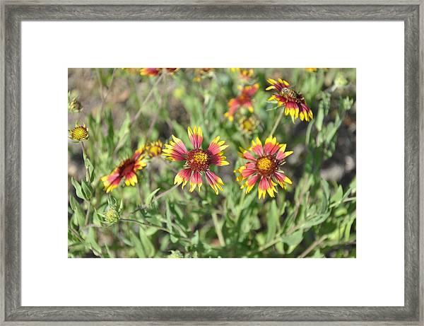 Blanketflower Framed Print